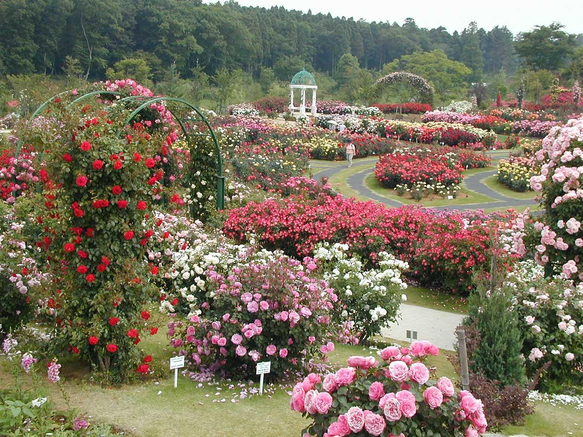 Создаем розарий на садовом участке