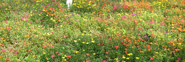 Мавританский газон на своем участке: растим и радуемся